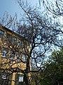 Budai Arborétum. Felső kert. Közönséges szivarfa (Catalpa bignonioides). - Budapest XI. kerület.JPG