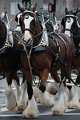 160px budweiser clydesdales boston