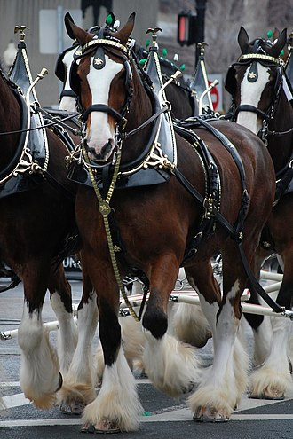 Feathering (horse) - The Clydesdale is an example of a draft horse breed with feathering.