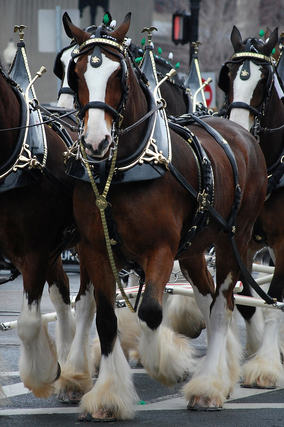 Budweiser Clydesdales Boston