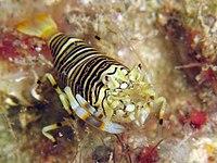 Bumblebee Shrimp.jpg