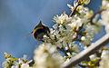 Bumblebees Behind (4633475610).jpg