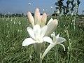 Bunga sundel bangil - panoramio.jpg
