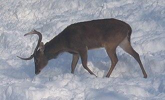 Eld's deer - Panolia eldi thamin of Burma and Thailand