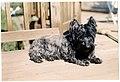 Bushland terrier.jpg
