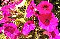 Butchart Gardens - Victoria, British Columbia, Canada (28640291884).jpg