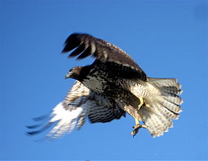 A Red-Tail Hawk (Buteo jamaicensis) flying. Ha...