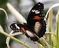 Butterfly 11 (30840374806).jpg