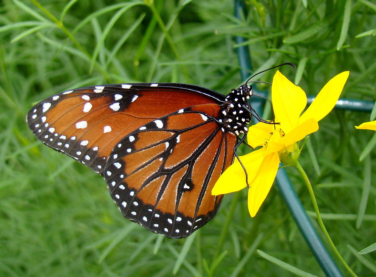 Queen Butterfly Simple English Wikipedia The Free