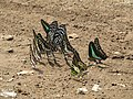 Butterfly mud-puddling at Kottiyoor Wildlife Sanctuary (25).jpg