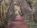 Buxus sempervirens ( Árbores senlleiras de Galicia) - panoramio.jpg