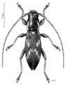 COLE Cerambycidae Xylotoles costipennis.png