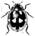 COLE Coccinellidae Coccinella leonina.png