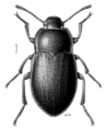 COLE Tenebrionidae Mimopeus elongatus.png