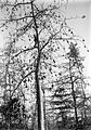 COLLECTIE TROPENMUSEUM Een plukker klimt in een kapokboom om kapokkolven te oogsten op onderneming Siloewok Sawangan te Pekalongan Midden-Java TMnr 10011516.jpg