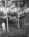 COLLECTIE TROPENMUSEUM Europeaan poseert naast een Hevea rubberboom die wordt afgetapt TMnr 10023831.jpg
