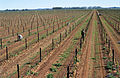 CSIRO ScienceImage 4129 Tying up young vines.jpg