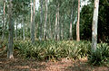 CSIRO ScienceImage 634 Pineapples and Eucalypts Grown Together.jpg