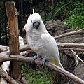Cacatua alba -Ueno Park -Japan-8-4c.jpg