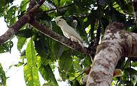 Cacatua haematuropygia -Palawan, Philippines-8.jpg