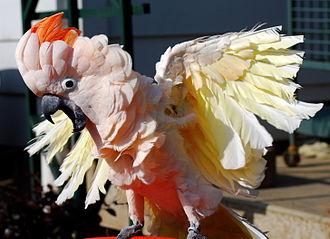 Salmon-crested cockatoo - Image: Cacatua moluccensis excited