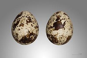 Common quail - Image: Caille des blés MHNT