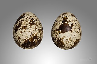 Prepelica poľná (Coturnix coturnix) - vajíčka