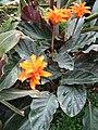 Calathea crocata.jpg