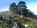 Caledonian pines near Mullardoch dam - geograph.org.uk - 1518179.jpg