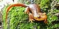 California Newt (12311133016).jpg
