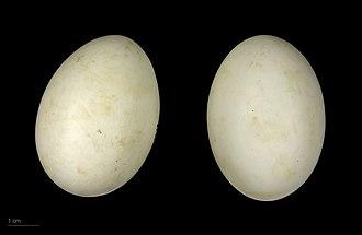 Ringed teal - Callonetta leucophrys - MHNT