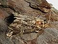 Callopistria juventina - The Latin - Мохноногая совка красноватая (39248013170).jpg