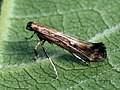 Calybites phasianipennella (40991715191).jpg