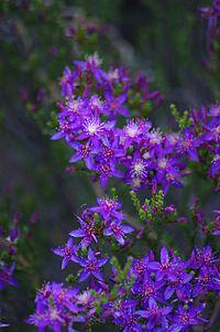Calytrix leschenaultii gnangarra