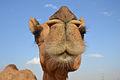 Camel (6319275933).jpg