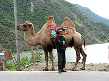 Camel in Sichuan China.jpg