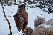 Camelus bactrianus in Zurich Zoo 3.jpg