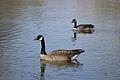 Canada Geese (Branta canadensis) - London, Ontario 02.jpg