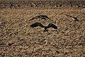 Canada goose - Branta canadensis (44160577464).jpg