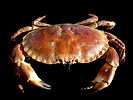 A stocky crab with large claws.
