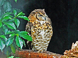 Cape Eagle-Owl RWD.jpg