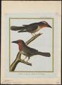 Capito erythrocephalus - 1700-1880 - Print - Iconographia Zoologica - Special Collections University of Amsterdam - UBA01 IZ18800097.tif