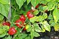 Capsicum chinense Congo Trinidad 1zz.jpg
