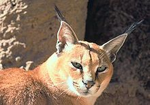 9faa26e123e9 Wikijunior Big Cats Complete Edition - Wikibooks