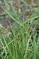 Carex.ovalis.2.jpg