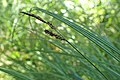 Carex cespitosa kz03.jpg