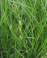 Carex hirta plant (05).jpg