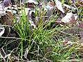 Carex humilis Habitus 2011-2-27 FuenteAlmirez SierraMadrona.jpg