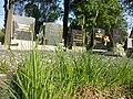 Carex tomentosa sl19.jpg