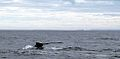 Carlb-whaletail-stanthony-nfld-2002.jpg